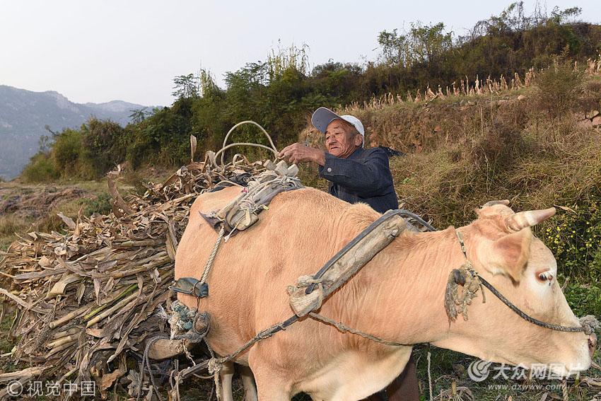 """日照:古稀老人种5亩粮田 老牛车成了""""网红"""""""