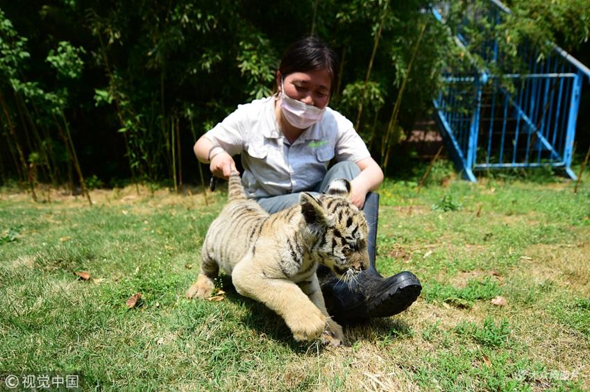 2018年5月16日,在山东烟台动物园,饲养员张利娜与东北虎幼崽嬉戏.
