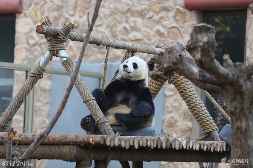 """济南动物园熊猫馆内""""可爱""""的国宝"""