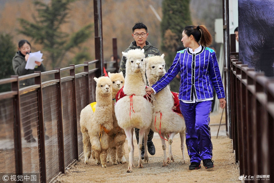 2019年1月30日,山东青岛森林野生动物世界,羊驼与饲养员一起在参加