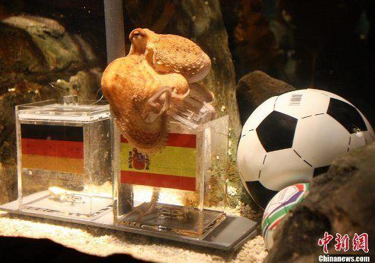 章鱼保罗再显灵6猜全中 德球迷想吃了它发泄郁闷