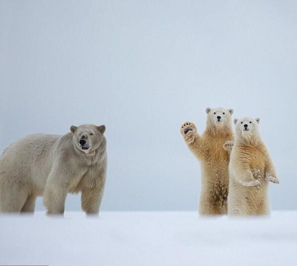 其中两只可爱的北极熊宝宝一站一蹲,这时,其中一只似乎在向远处招手.