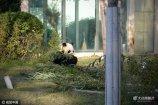 """11月9日,山东省青岛市,在青岛动物园,有一对国宝大熊猫――乐水和贝贝。自从2014年来青岛后,它们绝对享受着高规格礼遇,住着特制的""""套房"""",吃着成都空运来的竹子。"""