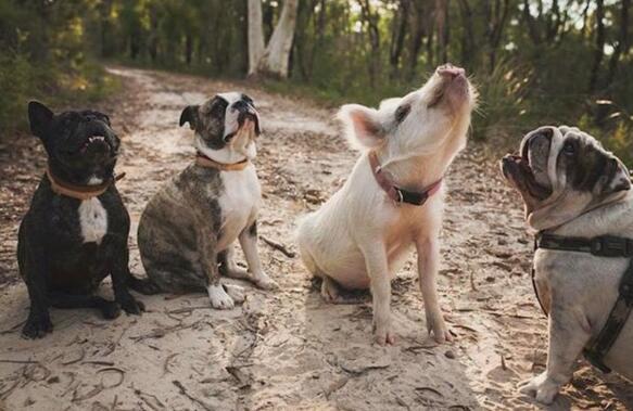 这只猪每天把自己当成狗
