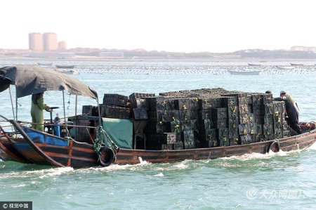 5月14日,在山东省荣成市青鱼滩码头,从4月下旬开始一直持续到5月中旬的大规模鲍鱼转场活动基本结束,共放养南下越冬归来的鲍鱼500多万头,福建北上避暑的鲍鱼6000多万头。