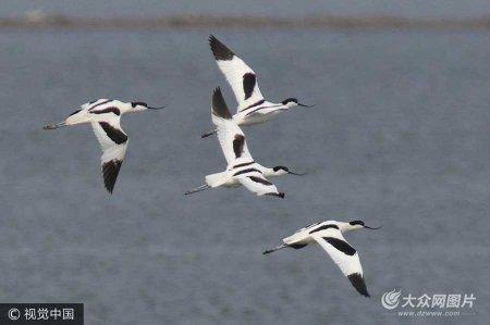 2017年5月16日,各种珩鹬类候鸟集中出现在山东省青岛市胶州湾河流入海口、潮间带等沿海湿地觅食栖息。