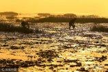 2017年6月9日,在山东青岛即墨市丁字湾畔的田横镇,一种罕见的海洋产品――血蛤蜊,开始成熟出现在泥滩上层,渔民迎来了收获的季节。