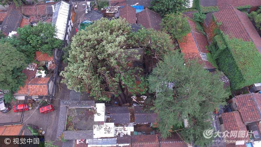 济南半米多粗老树砸塌民房
