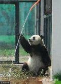 """2011年4月23日,山东烟台南山动物园大熊猫馆,大熊猫""""华奥""""正在冲凉降温。"""