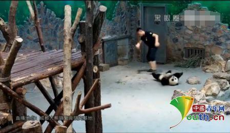 成都大熊猫幼仔被粗暴扔摔 当事人首回应