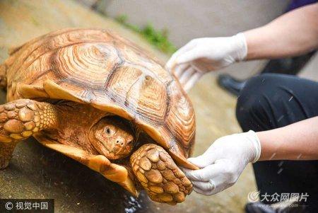 近日,200只来自非洲苏丹的苏卡达陆龟进入花都口岸。