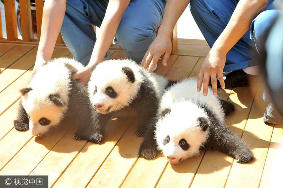 3只大熊猫宝宝面向社会征名认养