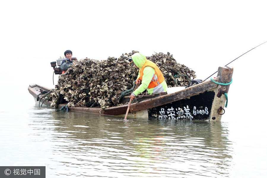 威海:牡蛎转场育肥忙