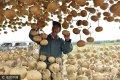 2017年10月12日,山东省日照市莒县寨里河镇辛氏葫芦种植基地,辛崇志正在采摘葫芦。如今, 辛崇志的彩绘葫芦工艺作品,不仅在国内受到欢迎,而且还受到东南亚、韩国、日本等国家的欢迎。