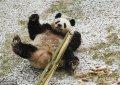 长春市迎来深秋首场降雪,吉林省东北虎园内的大熊猫梦梦兴奋地在雪中撒欢。