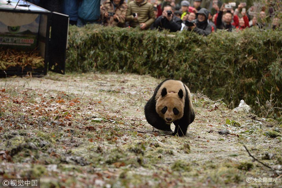"""大熊猫""""八喜""""""""映雪""""被放归 出笼后迅速跑进山林"""