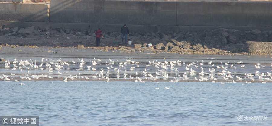 青岛海滩处现大量蛤蜊 市民一挖一麻袋