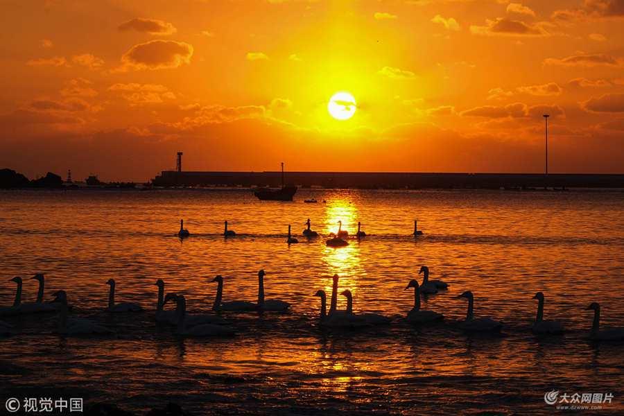 威海:大天鹅的越冬之旅