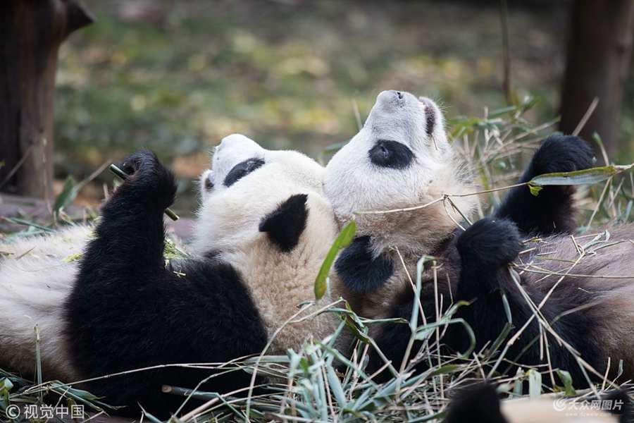 """成都:两只大熊猫头靠头吃竹子""""秀恩爱"""""""