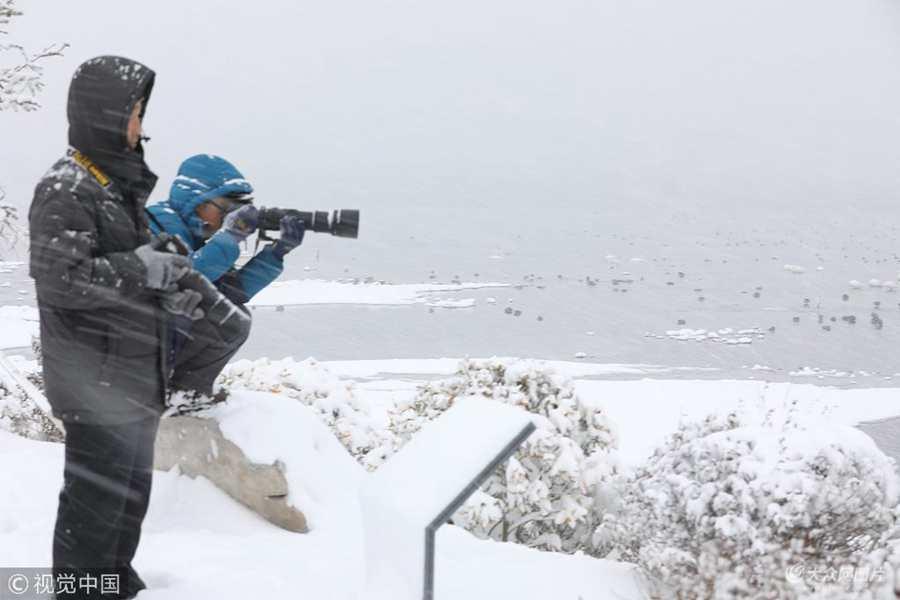 威海:天鹅大雪中游弋