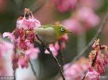 2018年1月18日,日本东京,荏原神社的台湾樱花开放,引来一只暗绿绣眼鸟。