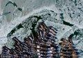 2018年1月24日,辽宁大连。大连渤海和黄海近海海域海冰范围扩大,大批渔船被海冰冻在海面上,影响渔民出海捕捞作业。