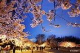 """2018年4月12日,日前,山东青岛中山公园两千余株樱花盛放,在暮色中呈现出""""越夜越魅""""的色彩,吸引不少游客在晚间出游赏樱。"""