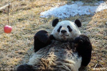 济南野生动物世界里的动物们已做好过年的准备,一个个萌态可掬,以招牌
