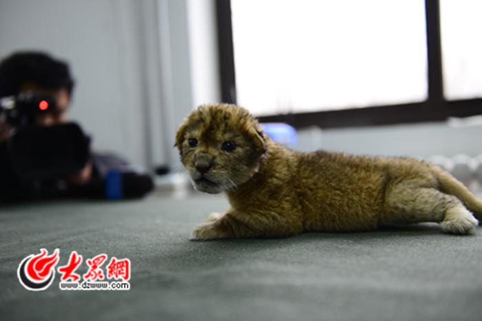 世界的动物医院里迎来了丙申猴年首只非洲雄狮宝宝