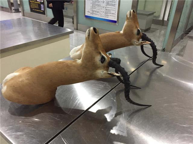 山东口岸截获国家二级重点保护动物黑斑羚头标本