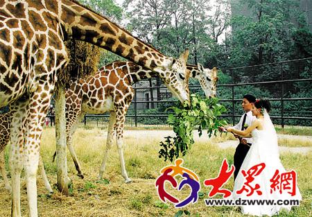 动物园长颈鹿笼舍内,新郎栗建强和新娘杜传玲在喂