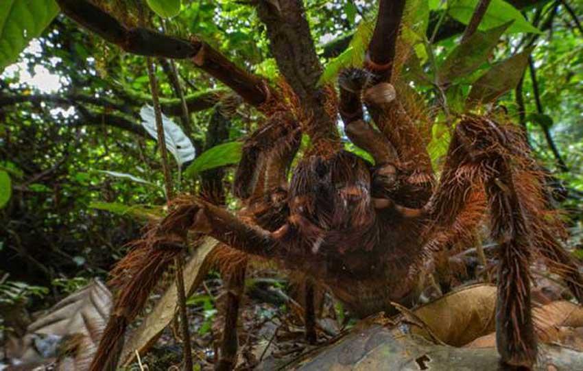 美科学家丛林偶遇世界最大蜘蛛 重量接近幼犬
