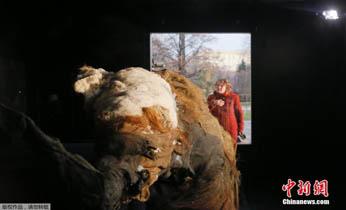 莫斯科展出冰封3.9万年 全球首只完整长毛象