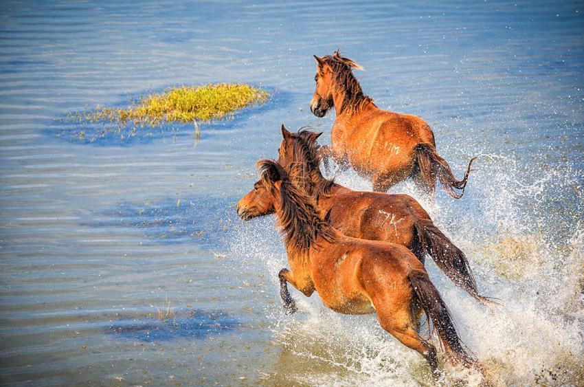 美国摄影师布拉德・斯蒂伦(Brad Styron)近日在北卡罗来纳州水晶海岸(Crystal Coast)拍摄到了一组骏马奔驰的照片,照片中的骏马自由奔跑,美轮美奂。