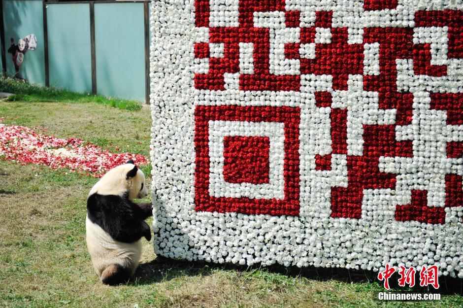 5月19日,大熊猫在鲜花合体,组成完整的巨型二维码。当日,云南野生动物园的明星大熊猫思嘉与2万余朵鲜花组成巨型二维码,方便游客了解动物园的各类活动消息。
