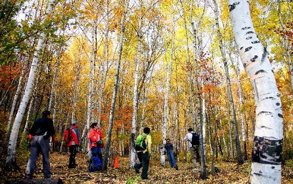 游客在京郊喇叭沟门国家森林公园白桦林中游玩
