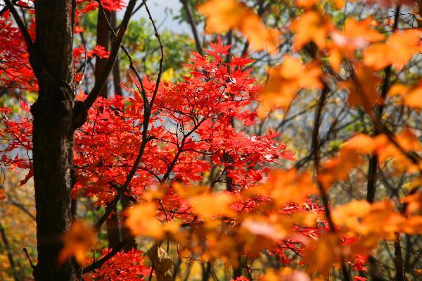这是10月7日拍摄的京郊喇叭沟门国家森林公园内迷人的秋叶