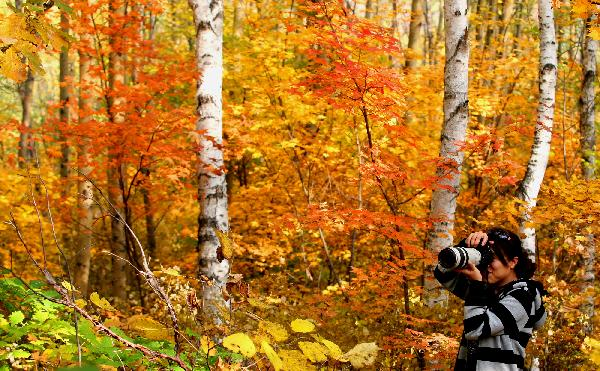 摄影爱好者在京郊喇叭沟门国家森林公园白桦林中拍照