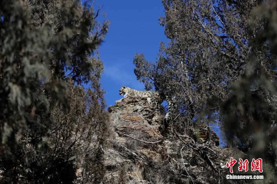 """2月19日,记者从青海省黄南州河南县环保林业局获悉,雪豹跟踪拍摄小组工作人员经过两个月的努力,于2013年12月20日和22日,在三江源腹地、宁木特林场宁木特管护站古圆柏林区""""阿什岗""""地段拍到雪豹行踪。"""