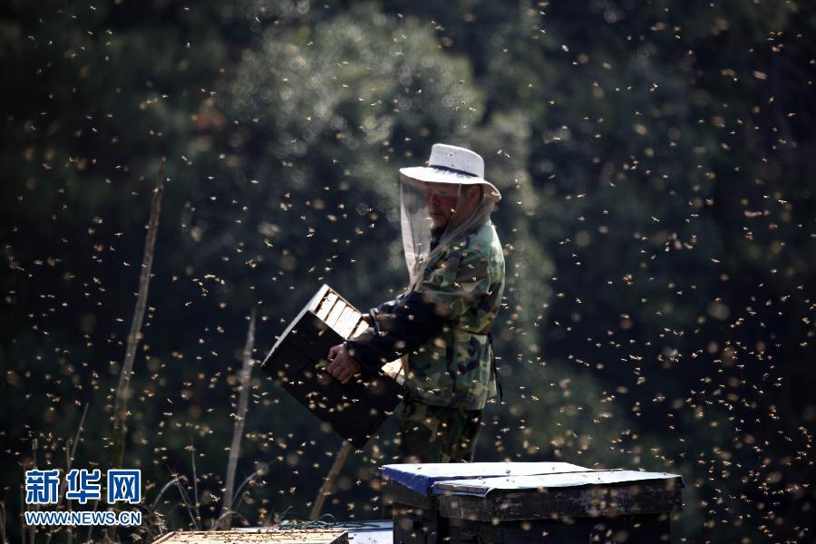 """月14日,在江西省都昌县都蔡公路旁,一名蜂农在搬移蜂箱。当前正值江西省都昌县油菜花大面积盛开期,当地蜂农们逐花放蜂,""""与蜂共舞""""成为春日一景。"""