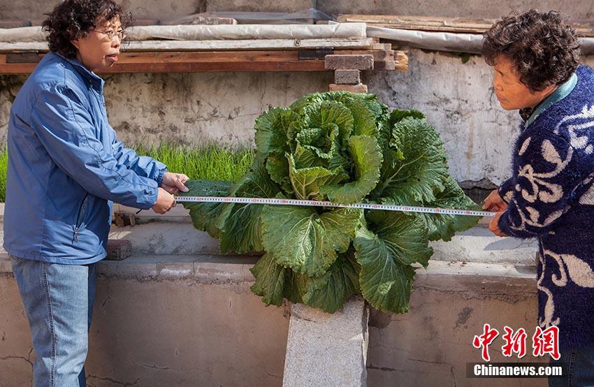 8月中旬,有小区居民在菜池里种了一些白菜,一个月后,有一颗白菜从菜池的水泥缝里挤了出来,如今,这颗白菜越长越大,叶部直径已经超过了一米。  (3).jpg