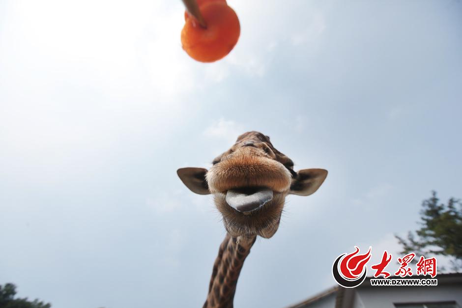 """这只叫""""长青""""的长颈鹿,已经8岁了。它的四只小伙伴八月底已经搬家去了章丘新园区,唯独它不肯进入运输笼箱,成为跑马岭动物园的""""钉子户""""。现在,就连饲养员都拿它没办法了,只能耗着。"""
