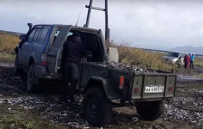 俄远东数万沙丁鱼被冲上岸 民众开车捡鱼