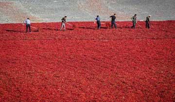 新疆伊犁:农民戈壁滩上晾晒鲜辣椒