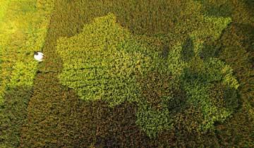 上海老人用彩色水稻种出中国地图.jpg