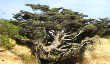 美国树坚强网络走红 生长无视重力法则