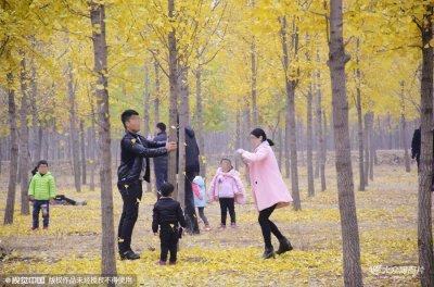 济南黄河千亩银杏林现不文明出游