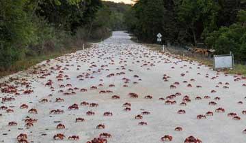 1200万只澳洲红蟹大迁移 横行圣诞岛