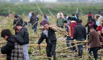 广州:大风刮倒10亩甘蔗-微信扩散5元一人任割.jpg