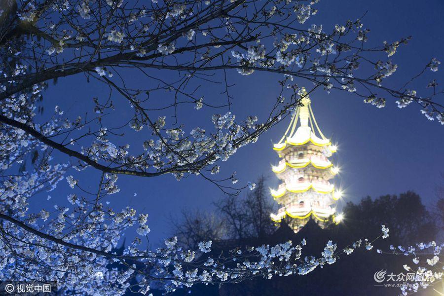 2016年3月16日―2016年03月17日,江苏省南京市,时值樱花盛开季节,在南京鸡鸣寺路,夜色下的樱花在灯光的烘托下,更显流光溢彩,魅力独特。
